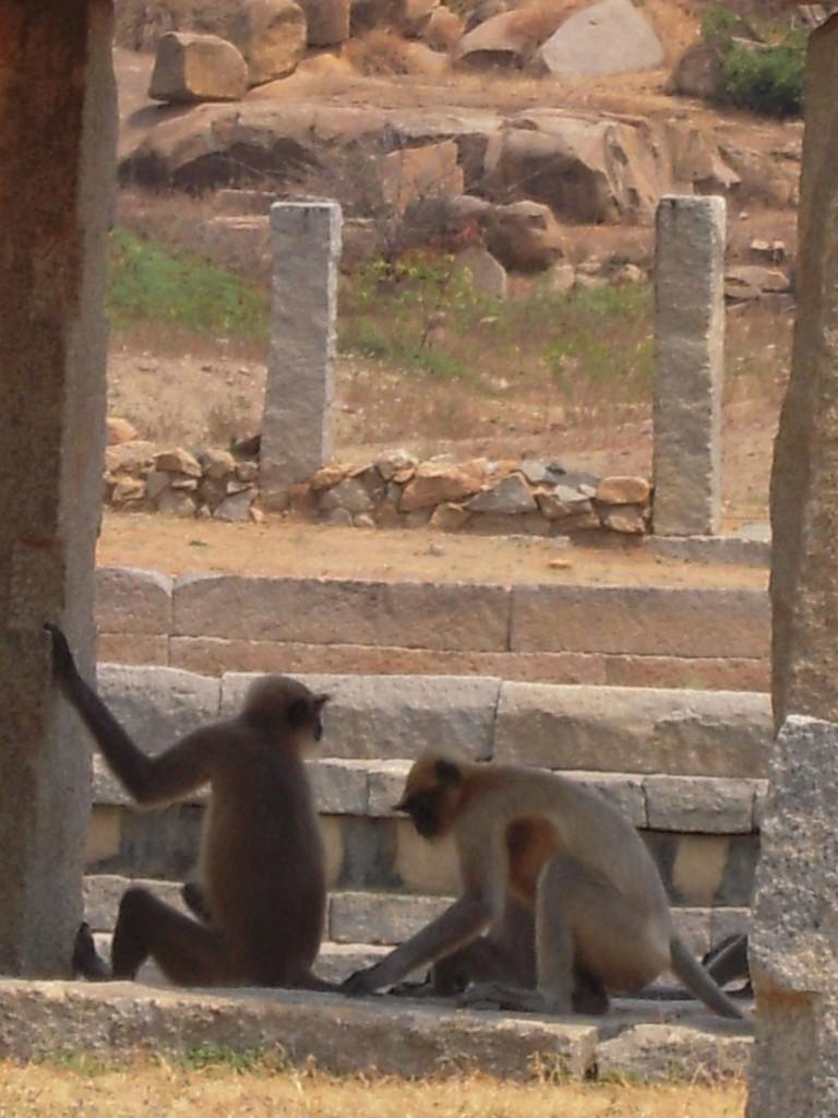 C'est pour le tournage d'un film que des centaines de singes ont été lâchés sur Hampi